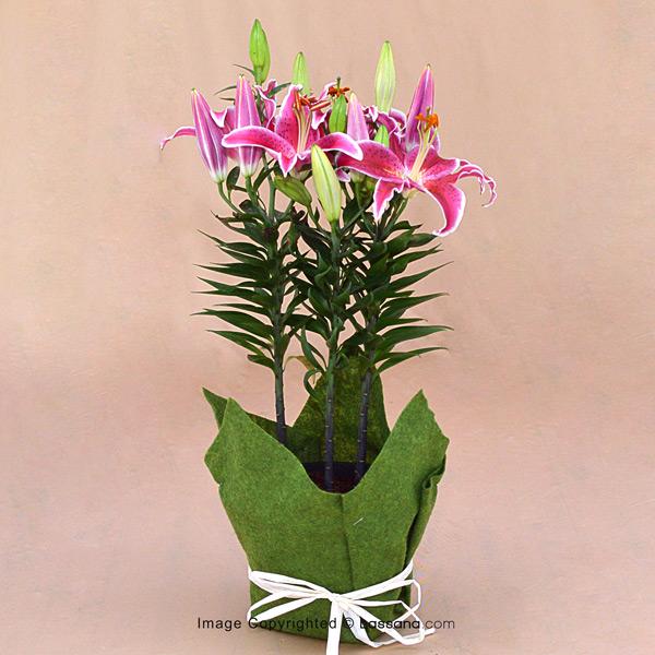 DELUXE ORIENTAL PINK LILY POT - 3 STEMS - Flowering Plants - in Sri Lanka